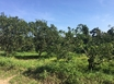 230 Acre Orange Orchard
